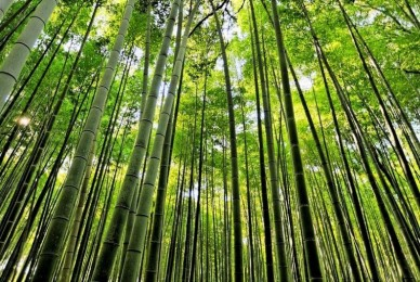 Proyecto de Ley – Fomento de cultivo e industrialización de Bambú